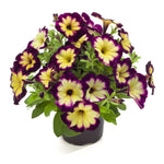 "Petunia Crazytunia Moonstruck 4"" pot"