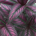 "Persian Shield 4"" pot"