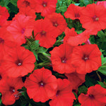 "Petunia Surfinia Red 4"" pot"