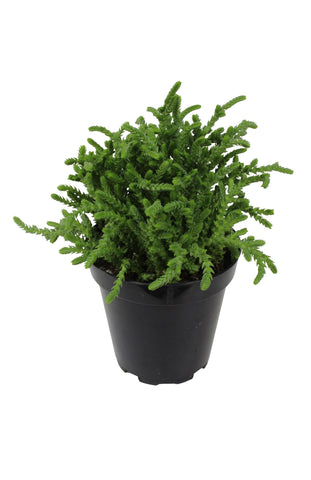 "CRASSULA WATCH CHAIN 3.5"" pot"