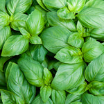 "Basil Greek Columnar 3.5"" pot"