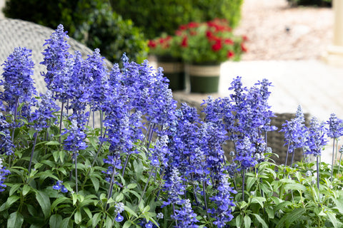 "Salvia Sallyfun Deep Ocean 4"" pot"