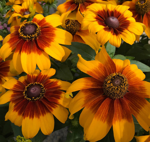 "Rudbeckia Rising Sun Chesnut Gold 6"" pot"