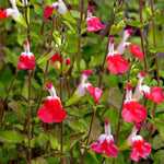 "Salvia Hot Lips 4"" pot"