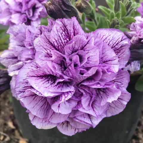 "Petunia Supertunia Priscilla 4"" pot"