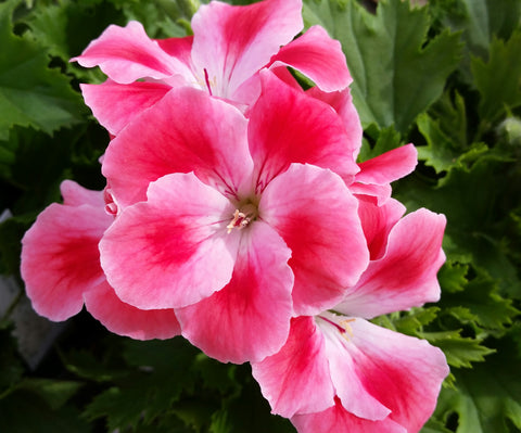 "Geranium Candy Flowers Peach Cloud 6"" pot"