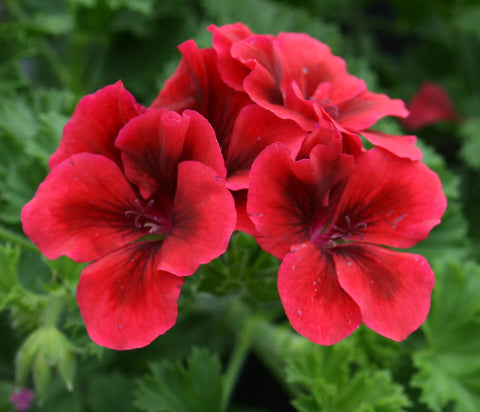 "Geranium Candy Flowers Bright Red 6"" pot"