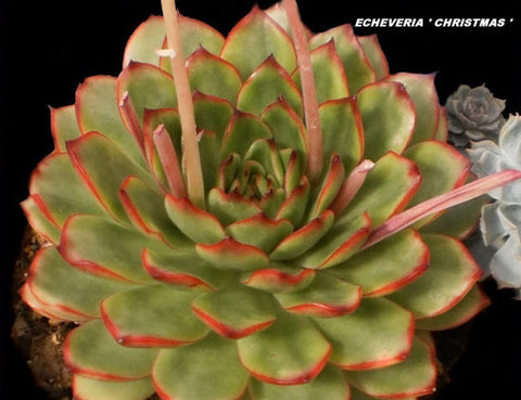 "ECHEVERIA CHRISTMAS  3.5"" pot"