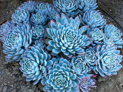 "ECHEVERIA VIOLET QUEEN 3.5"" pot"
