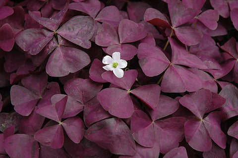 "Oxalis Charmed Wine 4"" pot"