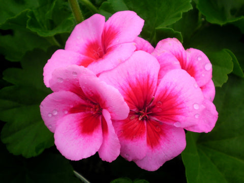 "Geranium Americana Light Pink Splash 4"" pot"