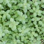 "Oregano Greek 3.5"" pot"