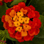 "Lantana Havana Hot Blooded Red 4"" pot"