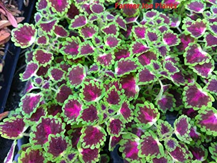 "Coleus Great Falls Iguazu 4"" pot"