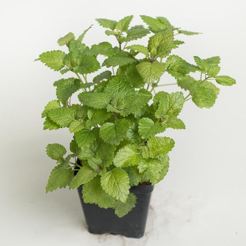 "Lemon Balm 3.5"" pot"