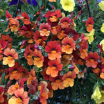 "Nemesia Sunsatia Blood Orange 4"" pot"