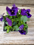 Pansy Asst Colors 4 pack