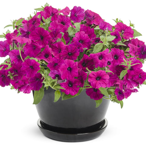 "Petunia Supertunia Royal Magenta 4"" pot"