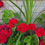 "Geranium Rocky Mountain Dark Red with Spike 12"" Patio Pot"