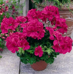"Geranium Rocky Mountain Violet with Spike 12"" Patio Pot"