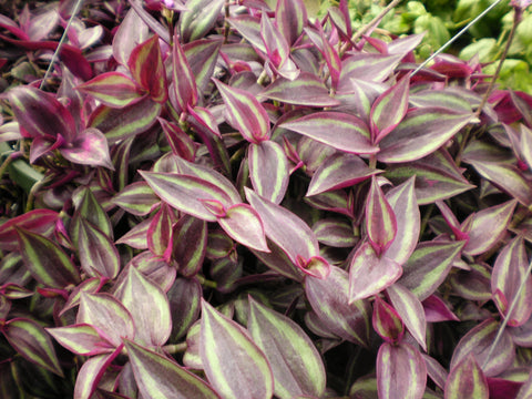 "Wandering Jew Red-Silver 4"" pot"
