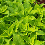 "Coleus Colorblaze Lime Time 4"" pot"