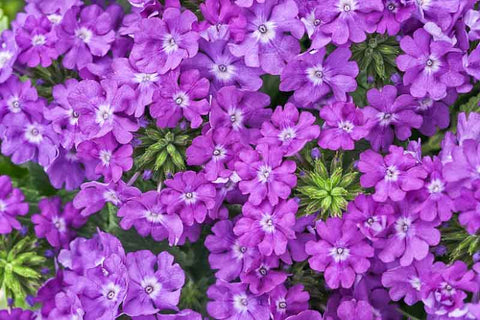 "Verbena Superbena Violet Ice 4"" pot"