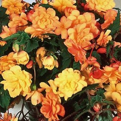 "Begonia Illumination Apricot 4.5"" pot"
