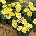 "Lantana Bandana Yellow 4"" pot"