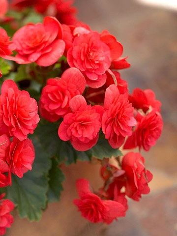 "Begonia Solenia Cherry 4"" pot"