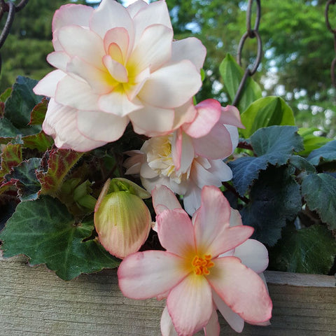 "Begonia Miss Montreal 4"" pot"