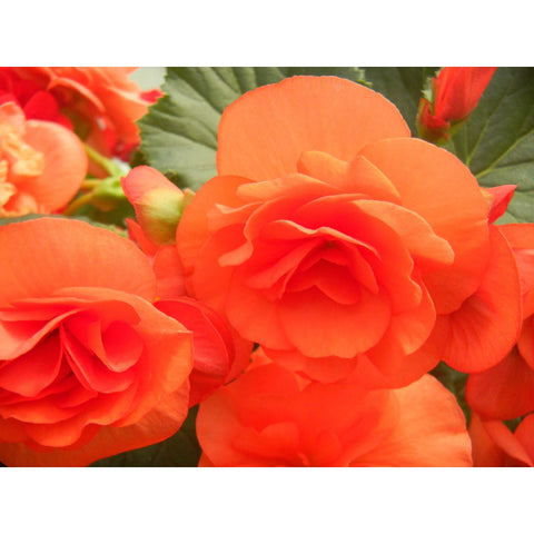 "Begonia Solenia Orange 4"" pot"