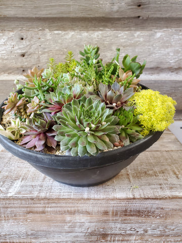 "SUCCULENT ASSORTMENT 12"" BLACK BOWL"