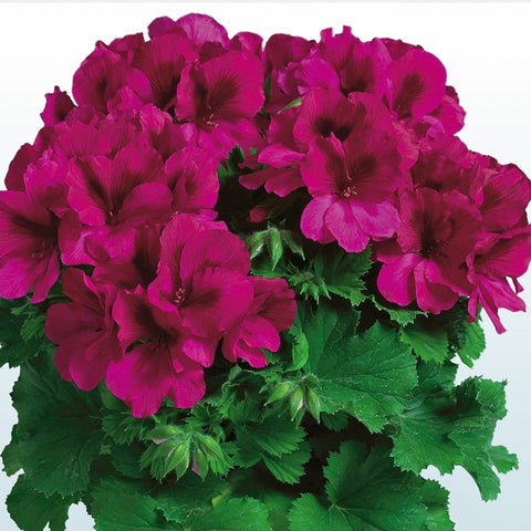 "Geranium Aristo Burgundy 6"" pot"