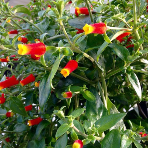 "Candy Corn Vine 6"" pot"