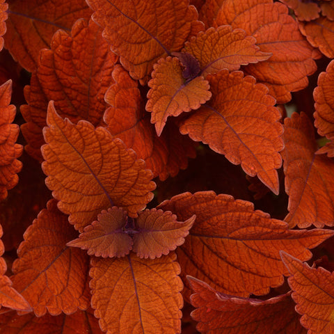 "Coleus Colorblaze Sedona Sunset 4"" pot"