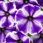 "Petunia Crazytunia Blue Ice  4"" pot"
