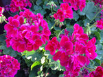 "Geranium Calliope Medium Crimson Flame 4"" pot"