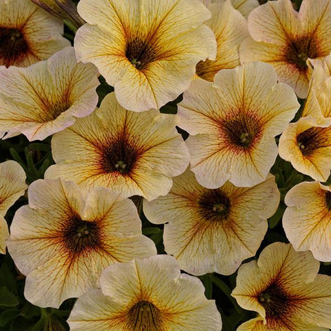 "Petunia Supercal French Vanilla 4"" pot"