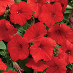 "Petunia Easy Wave Red 4"" pot"
