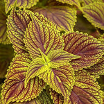 "Coleus Colorblaze Golden Dreams 4"" pot"