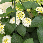 "Lantana Havana Full Moon 4"" pot"