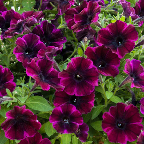 "Petunia Sweetunia Johnny Flame 4"" pot"