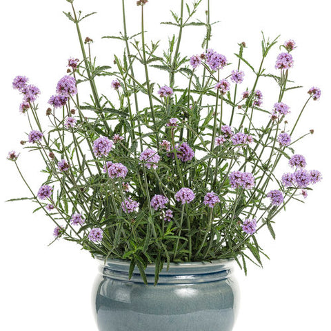"Verbena 'Meteror Shower' 4"" Pot"