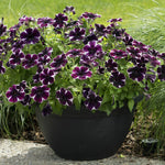 "Petunia Sweetunia Miss Marvelous 4"" pot"