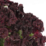 "Geranium Aristo Black Velvet 6"" pot"