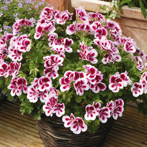 "Geranium Candy Flowers Bicolor 6"" pot"