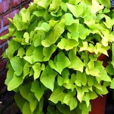 "Potato Vine 'Marguerite' 4"" Pot"