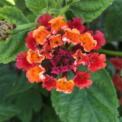"Lantana Havana Red Sky 4"" pot"