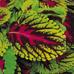 "Coleus Kong Rose 4"" pot"